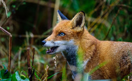 Red Fox. Portrait of a Red Fox in England, UK Royalty Free Stock Photography