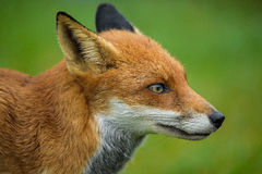 Red Fox. Portrait of a Red Fox in England, UK Royalty Free Stock Image