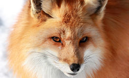 Red fox Stock Photos