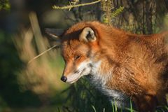 Red fox portrait Stock Photos