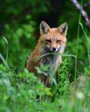 Red fox portrait Stock Image