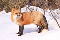 Red fox portrait. In snow Royalty Free Stock Photo