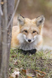 Red fox portrait Royalty Free Stock Image