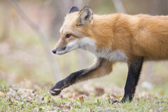 Red fox portrait Royalty Free Stock Images
