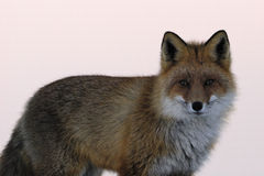 Red fox portrait in winter Stock Images