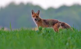 Red Fox posing in green summer field at sunset before hunting hours royalty free stock images