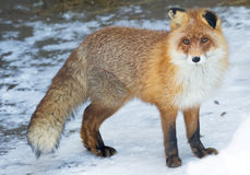 Red Fox. Is a predatory mammal of the family dogs. Externally, the Fox is a beast of medium size with an elegant body on low legs, with elongated snout, pointed Stock Image