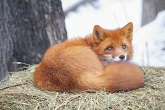 Red fox. Fox is a predatory mammal. This is a medium-sized animal with an elegant body on low legs, with an elongated muzzle, sharp ears and a long fluffy tail stock photo