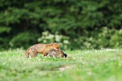 Red fox with prey on meadow - Vulpes vulpes. Adult red fox with catch bird on meadow in early morning - Vulpes vulpes Royalty Free Stock Photography