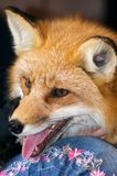 Red Fox Profile Royalty Free Stock Photo