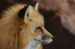 Red Fox Profile. Beautiful profile of a red fox with a pointy nose Stock Photo