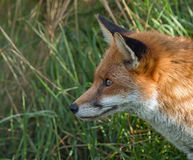 Red Fox Profile Royalty Free Stock Images