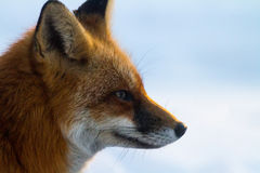 Red fox profile Royalty Free Stock Photos