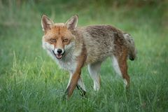 Red fox on the prowl. Red fox vulpes vulpes walking slowly facing the viewer and staring straight at the camera with wide open eyes Royalty Free Stock Image