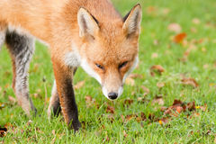 Red Fox Prowling in Autumn Fall Leaves Stock Photos
