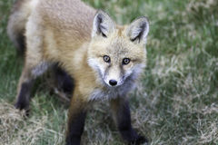 Red fox pup. High angle view of red fox pup with grass in background Stock Images