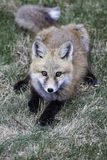 Red fox pup. High angle view of red fox pup with grass background Stock Images