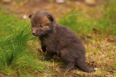 Red fox pup. One month old red fox pup Royalty Free Stock Images