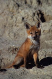 Red Fox Pup. A young red fox near its den Stock Images