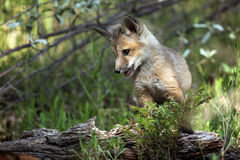 Red Fox Pup. Playing at the den site Royalty Free Stock Photos