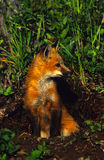 Red Fox Pup At Den Royalty Free Stock Images