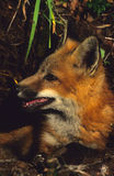 Red Fox Pup At Den Royalty Free Stock Photography