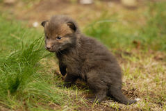 Red fox pup. A juvenile red fox pup just left the lair Stock Images