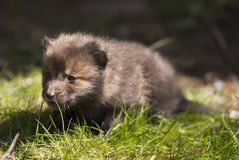 Red fox pup. A juvenile red fox pup just left the lair Royalty Free Stock Image