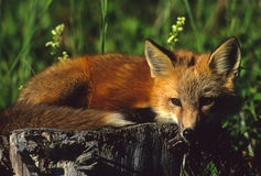 Red Fox Pup on Stump. A cute red fox pup laying on a stump Stock Image