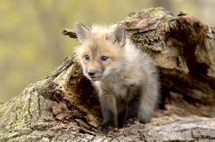 Red Fox Pup (Vulpes vulpes) lookiing camera left. Royalty Free Stock Photography