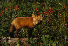 Red Fox Pup in wildflowers. A young red fox near its den in a field of wildflowers Stock Photo
