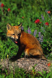 Red Fox Pup in Wildflowers. A red fox standing in a meadow of wildflowers Royalty Free Stock Photography
