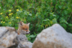 Red Fox puppy Royalty Free Stock Photos