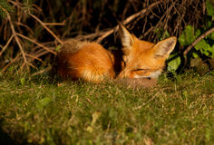 Red fox puppy Stock Images