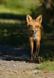 Red fox puppy Royalty Free Stock Photography