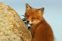 Red fox puppy looking back Stock Images