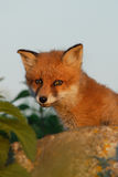 Red fox puppy in the summer evening Royalty Free Stock Photos