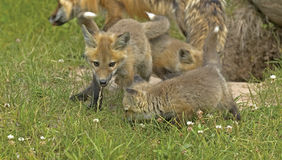 Red fox pups Royalty Free Stock Photography