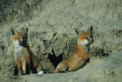 Red Fox Pups. Two young red fox near their den Stock Image