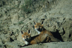 Red Fox Pups royalty free stock images