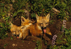Red Fox Pups. Three young red foxes near their den in a field of wildflowers Royalty Free Stock Photos