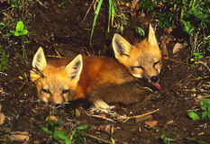 Red Fox Pups at Den. Two red fox pups laying outside their den Stock Image