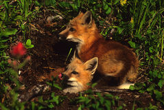 Red Fox Pups At Den Stock Images