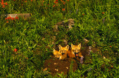 Red Fox Pups In Wildflowers Royalty Free Stock Photos