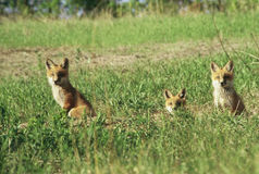 Red Fox Pups By Their Den Royalty Free Stock Images