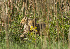 Red fox pups Royalty Free Stock Photo