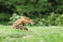 Red fox quarding the prey on meadow - Vulpes vulpes. Adult red fox guarding catched bird on meadow in early morning - Vulpes vulpes