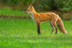 Red Fox. Standing watch on a manicured lawn. Rosetta McClain Gardens, Toronto, Ontario, Canada stock photos