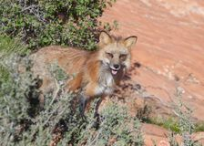 Red fox in red rock desert of Southern Utah staring towards the camera. While standing on the edge of some bushes royalty free stock photography