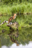 Red Fox Reflection Stock Photography